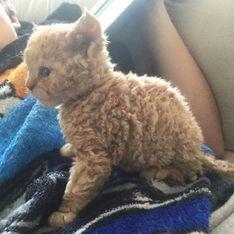 Kätzchen mit Locken: Diese Mieze hat unsere Herzen erobert!