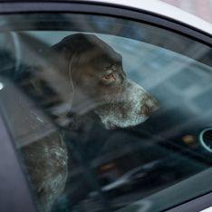 Que faire quand on voit un chien enfermé dans une voiture par cette canicule ?