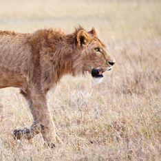 Une centaine de lions sont maltraités dans cet élevage sud-africain