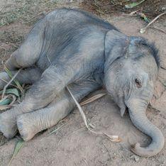 Trek à dos d'éléphant : un bébé attaché à sa mère s'effondre d'épuisement en Thaïlande