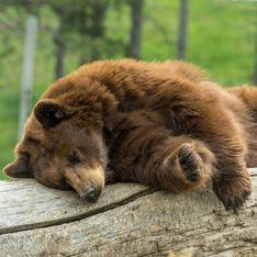 Improbable ! Aux Etats-Unis, un ours entre dans une maison pour faire une sieste