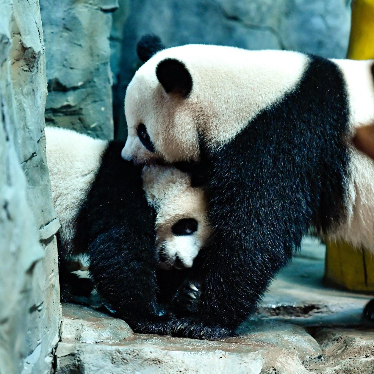 En Chine, des touristes jettent des pierres sur un panda pour le réveiller