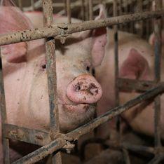 L'association L214 dénonce l'enfer d'un élevage porcin en Bretagne