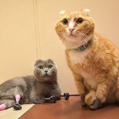 Amputé des quatre pattes, ce chat remarche grâce à des prothèses en 3D