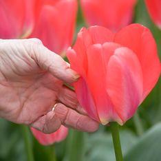 Cet horticulteur organise une distribution de tulipes dans les Ehpad
