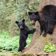 Le gouvernement Trump s'apprête à autoriser la chasse des ours dans leur tanière