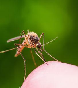Anti moustiques naturels : les meilleures recettes pour se protéger