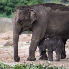 Récemment, au moins 275 éléphants sont morts mystérieusement au Botswana