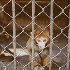 Des images de singes esclaves nous laissent sans voix