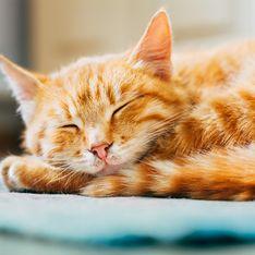 Gatto in calore: come riconoscere i sintomi e cosa fare