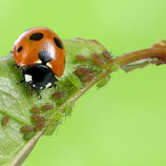 Blattläuse bekämpfen: So werdet ihr sie ohne Chemie los!