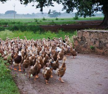 Tous les sites de l'éleveur de canards dénoncé par L214 ont été fermés