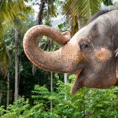 Kaavan, l'éléphant le plus solitaire au monde, sauvé du zoo où il était maltraité