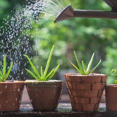 Aloe vera pianta: una miniera di benefici