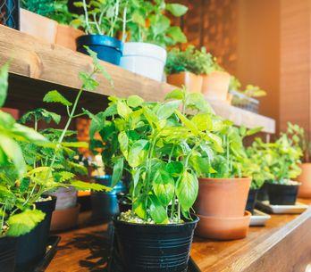 Potager d'intérieur, jardinage urbain : savez-vous planter des choux ? Nous, presque !