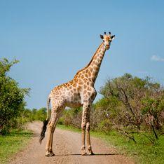 Elle pose à côté de la girafe qu'elle a abattu lors d'une chasse en boîte