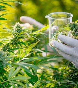 "CBD : quels sont les effets du cannabidiol, le ""cannabis légal"" ?"