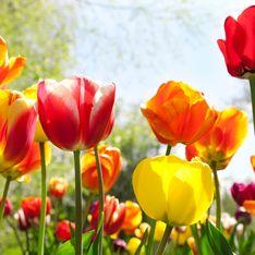 Quando piantare i tulipani per avere una fioritura perfetta