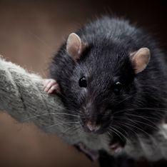 Rêver de rat : quelles significations ?