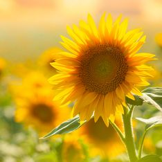 Girasole: significato del fiore simbolo di allegria e amore eterno