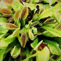 Piante carnivore: le piante dotate di foglie trappole per mangiare gli insetti