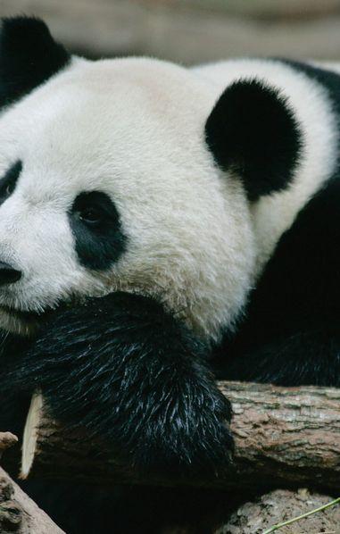 Deux bébés pandas sont nés au ZooParc de Beauval