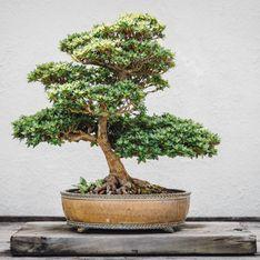Come curare un bonsai: i consigli da seguire