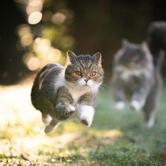 Pourquoi votre chat sera toujours plus rapide que vous (et Usain Bolt)