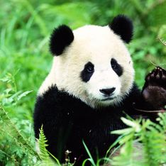 Zoo de Beauval : découvrez les noms français des deux nouveaux bébés pandas (vidéo)