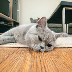À cause des confinements, les chats ne supportent plus leur humains