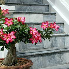 Rosa del deserto pianta: la pianta grassa da giardino o versione bonsai con un bellissimo fiore che sfida la siccità