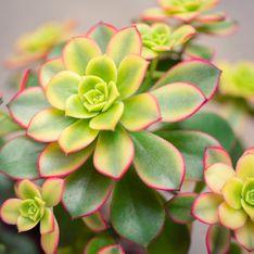 Top 10 delle più belle piante grasse colorate per la casa