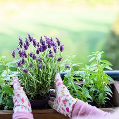 Come coltivare la tua lavanda in vaso o in giardino