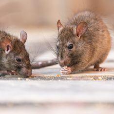 Marseille : une invasion de rats dans une maternelle impose des fermetures de classes