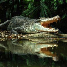 Sognare coccodrilli: interpretazione e possibili significati dell'alligatore nei sogni
