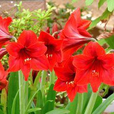 Pianta con fiori rossi: una fioritura di colore intenso e vivace in un appartamento o nei giardini